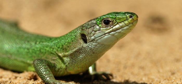 green-lizard-jean