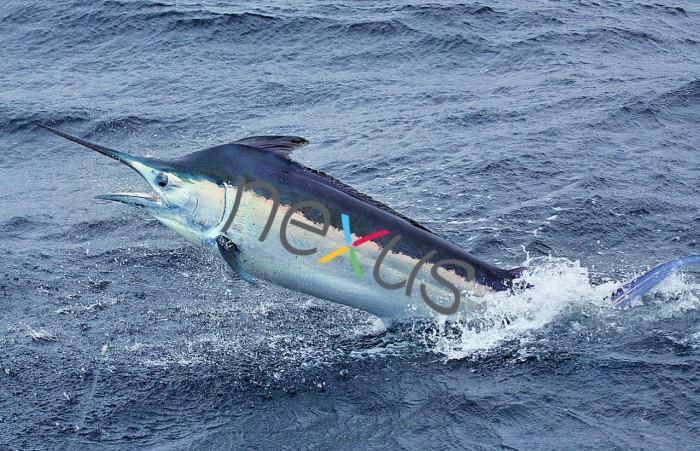 Nexus-Marlin