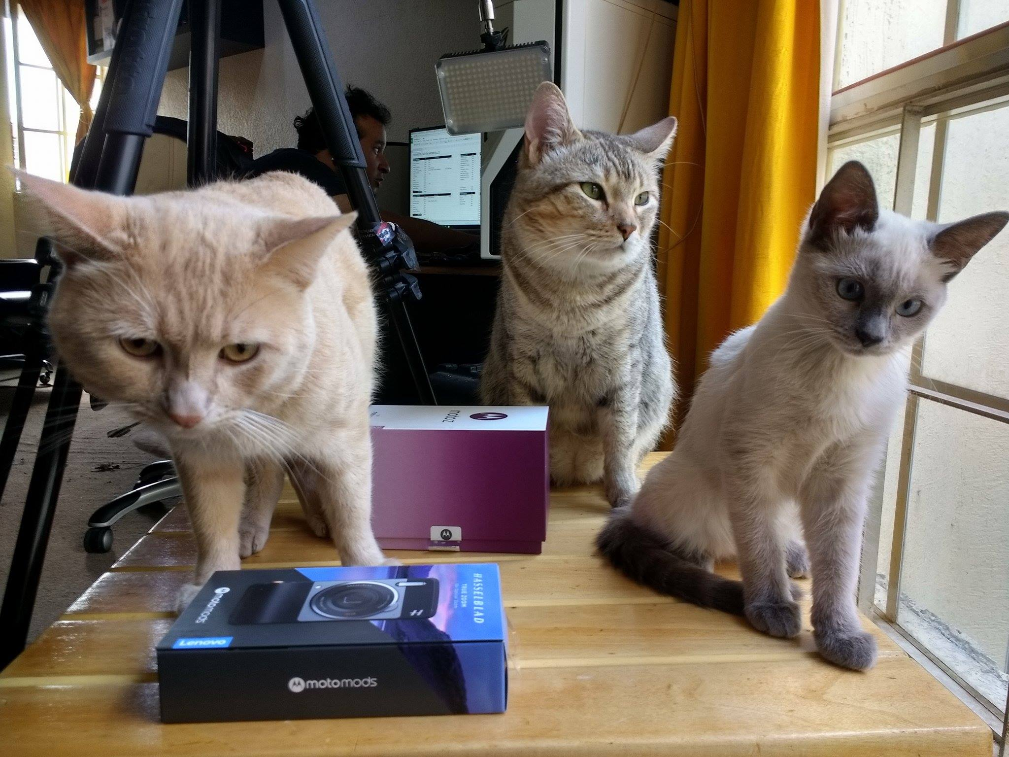 pingo-wero-isis-familia felina-poderpda